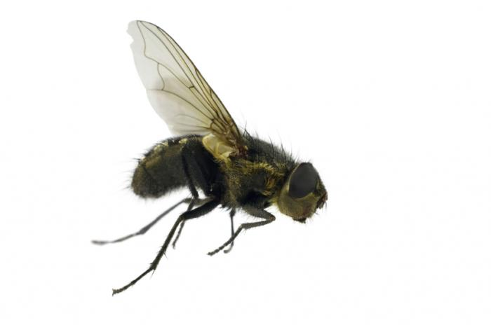 The Ormia ochracea fly has a sophisticated sound processing mechanism that determines the direction of a sound within an angle of 2 degrees. Picture Source: Medical News Today
